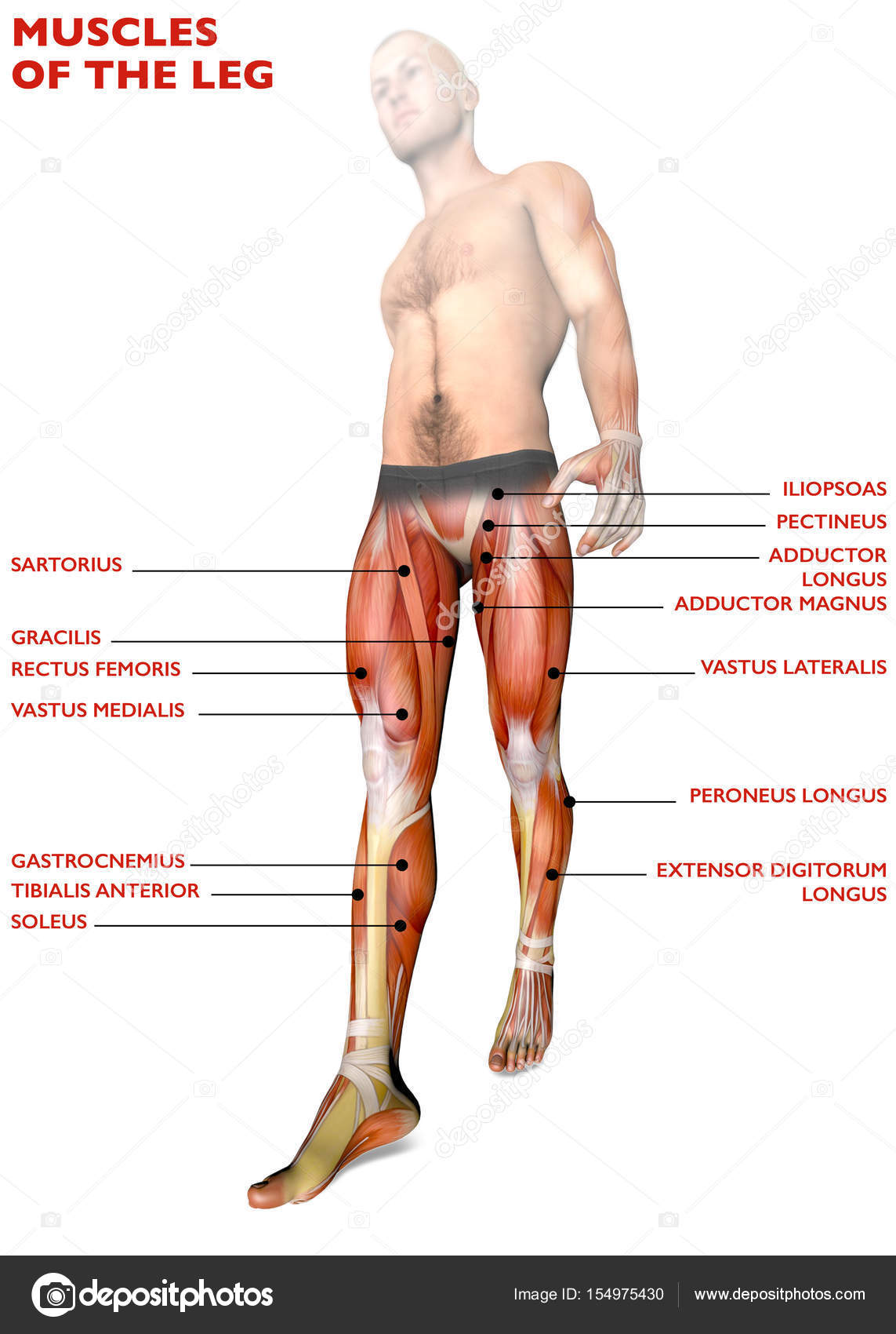 Leg Muscles Human Body Anatomy Muscular System Person Diagram 3d Rendering Photo By Vampy1