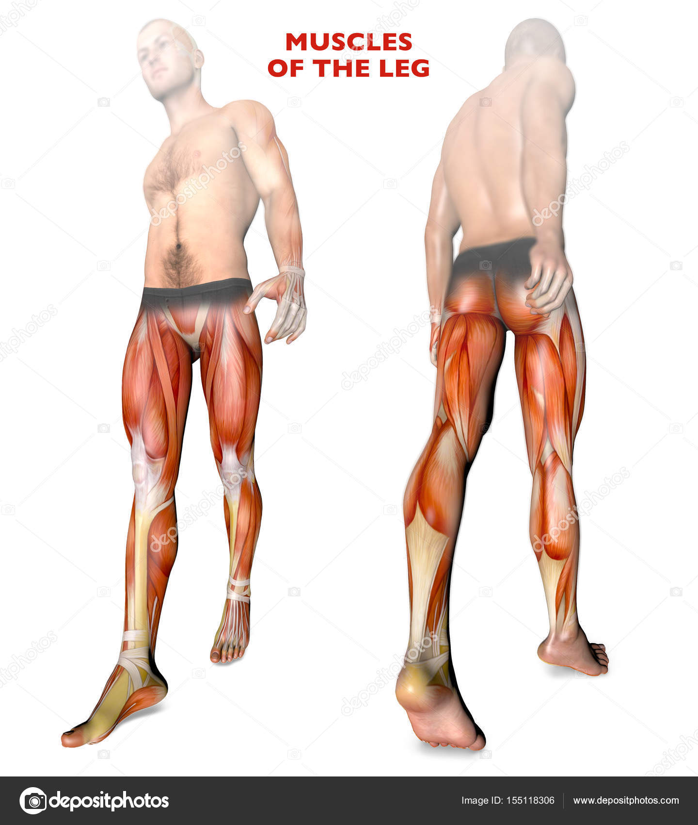 Leg Muscles Human Body Anatomy Muscle System Stock Photo