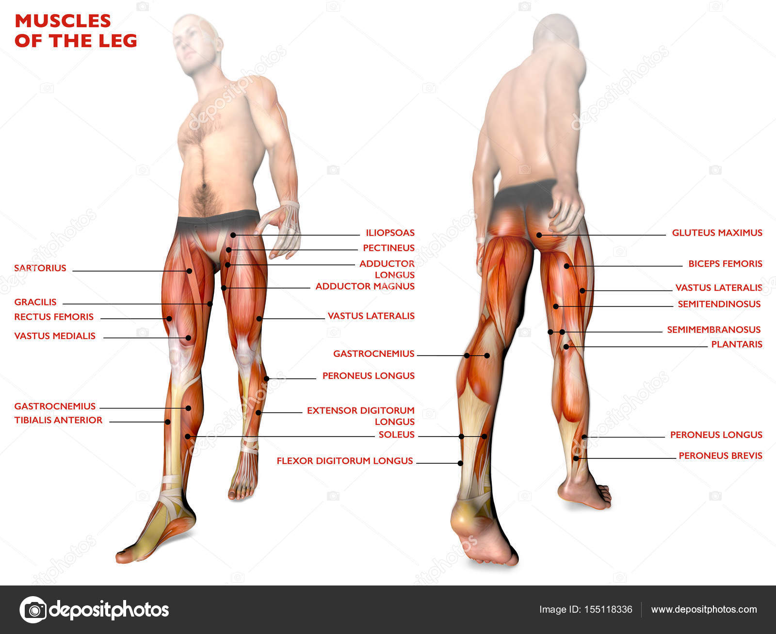 Leg Muscles Human Body Anatomy Muscle System Stock Photo