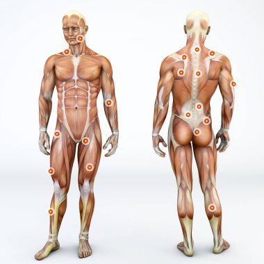 Myofascial trigger points, are described as hyperirritable spots in the fascia surrounding skeletal muscle. Palpable nodules in taut bands of muscle fibers. Front and back view of a man. 3d rendering stock vector