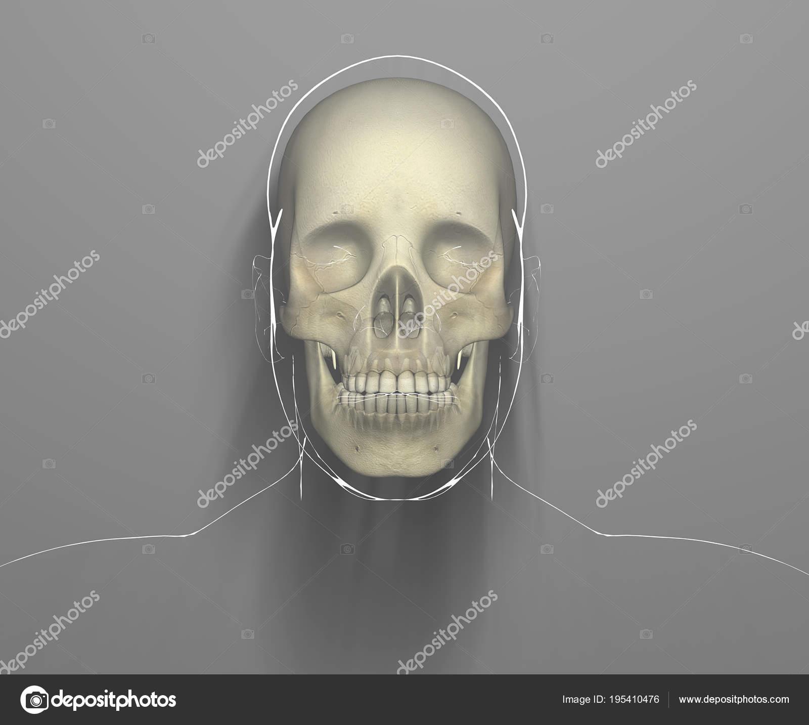 Vorderansicht Eines Schädels Auf Röntgen Jemandes Kopf Und Schädel ...
