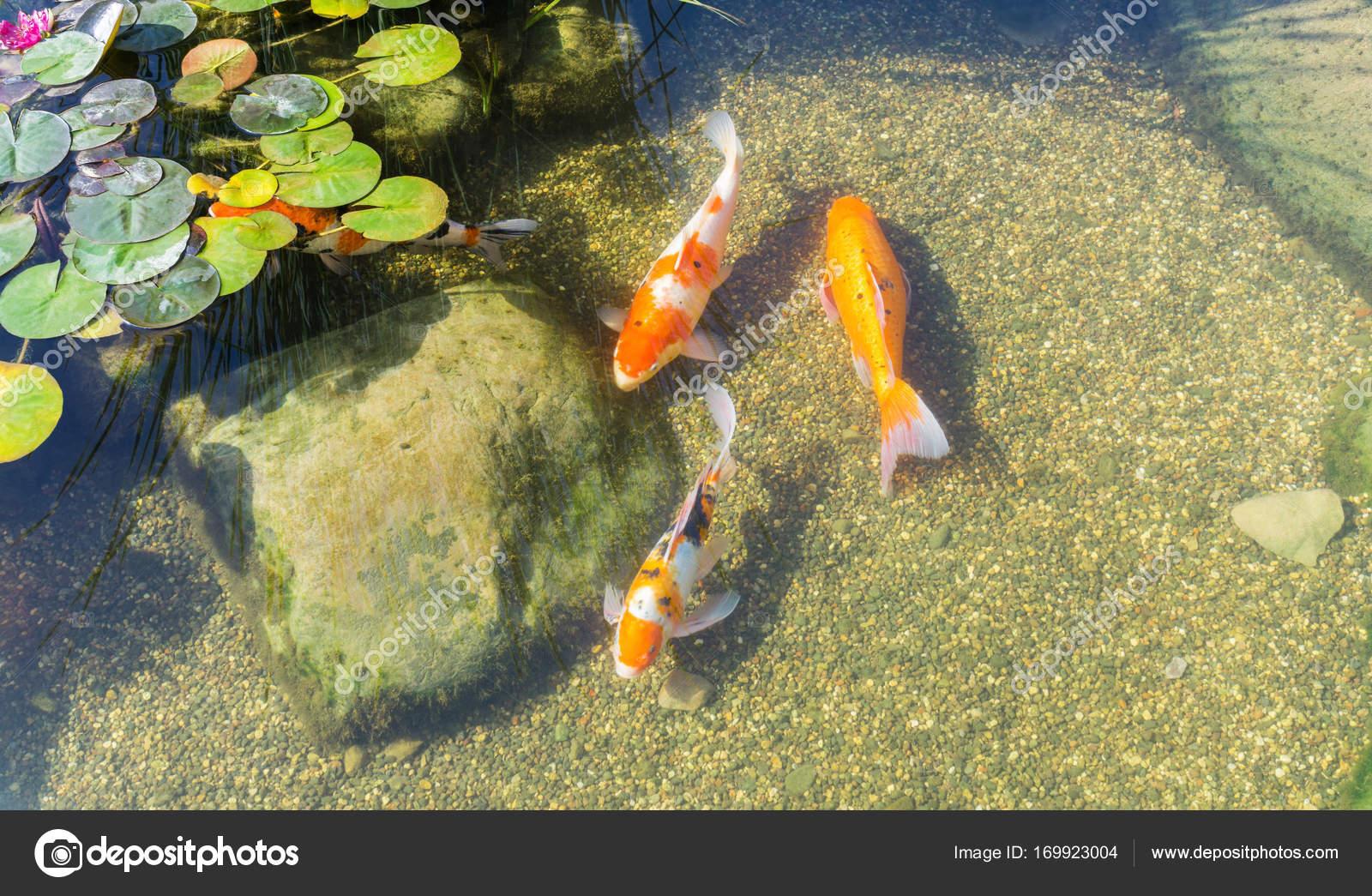 pesci decorativi in stagno foto stock hannaalandi