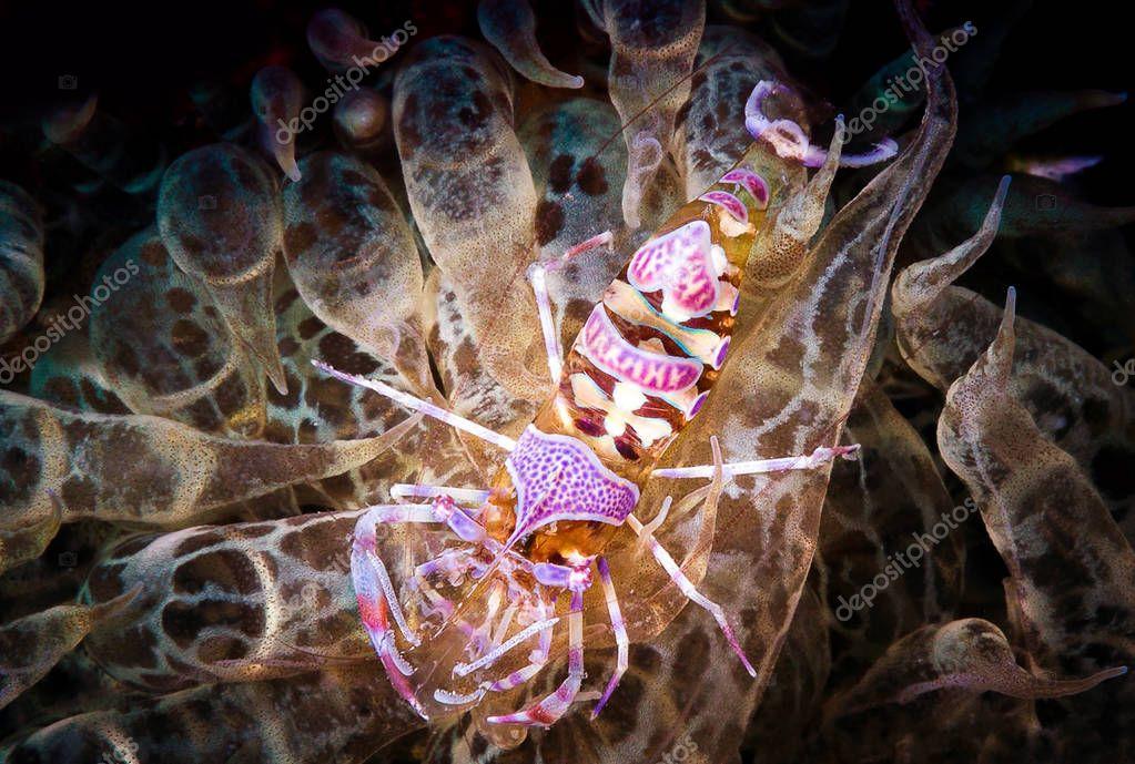 Ghost shrimp underwater in sea