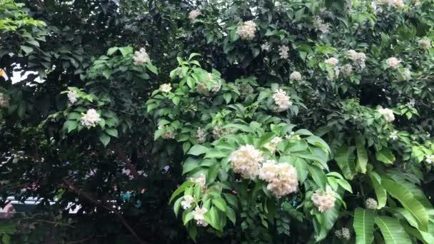 Schöne grüne Blätter von Pflanzen namens Murraya paniculata Wachstum im botanischen Garten. Natürlicher Hintergrund. Tropische botanische Bäume. Selektiver Fokus.