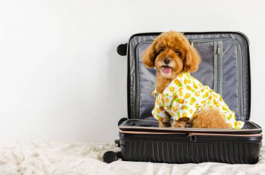 An adorable brown Poodle dog wearing summer dress and sitting in the luggage when going to travel with the owner.