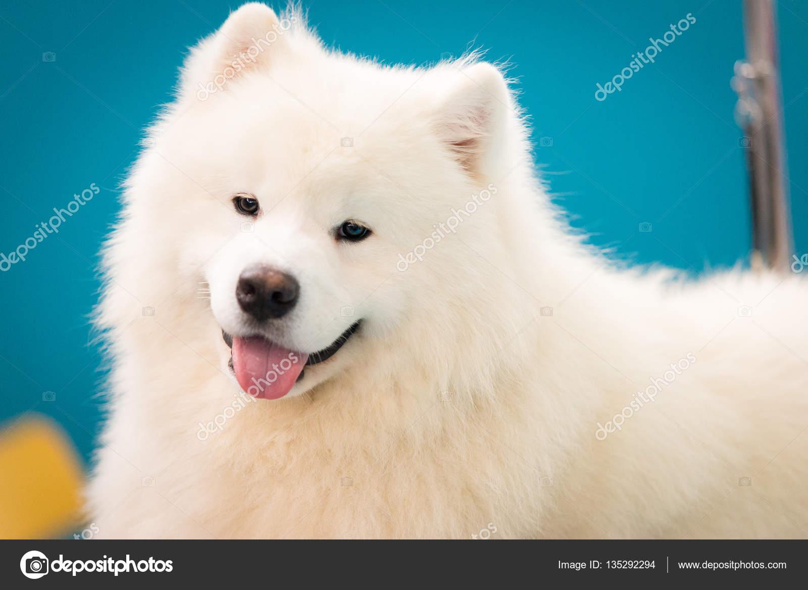 Portrait siberian samoyed white husky dog stock photo fosters portrait siberian samoyed white husky dog stock photo 135292294 voltagebd Image collections