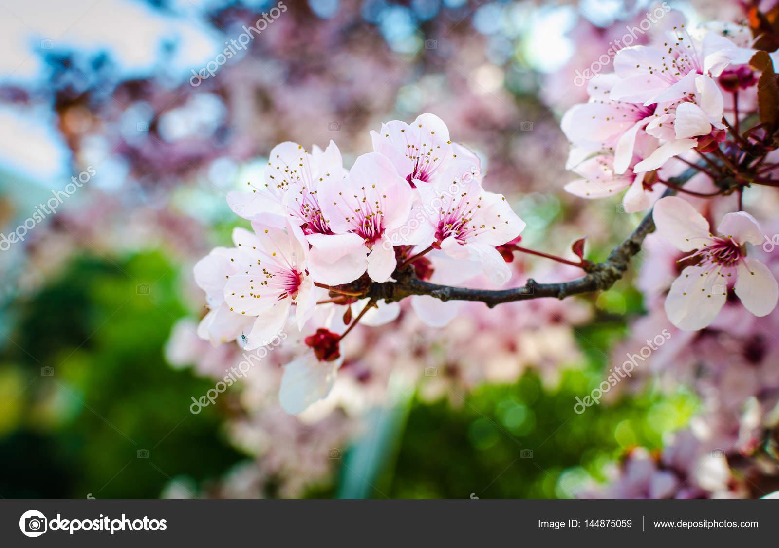 Albero di fioritura in primavera fiori rosa freschi sul ramo