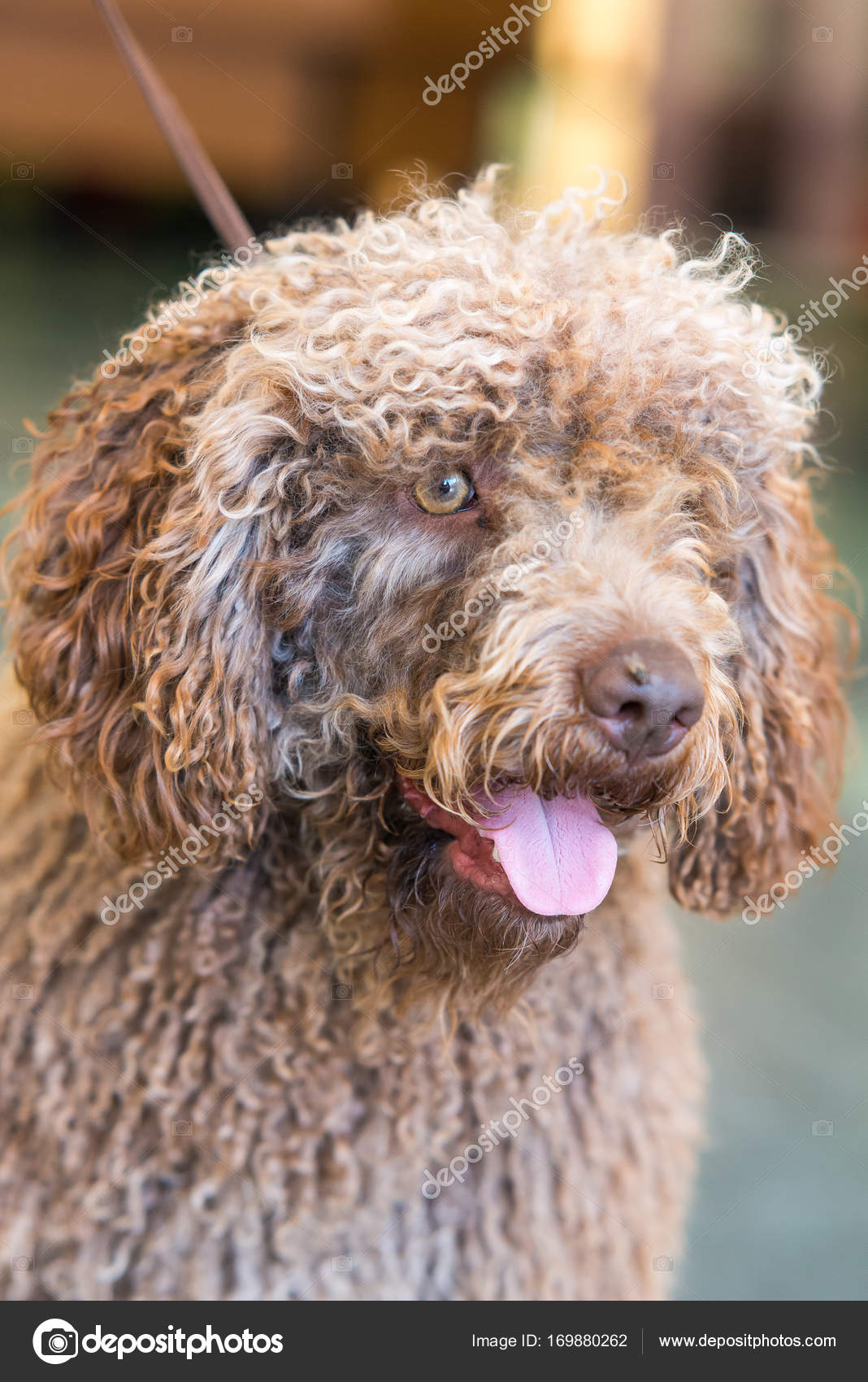 Spansk vattenhund