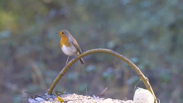Rotkehlchen flieht vor einem azurblauen Vogel.