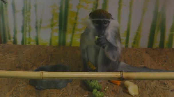 Chlorocebus pygerythrus nebo zelená opice jí mrkev