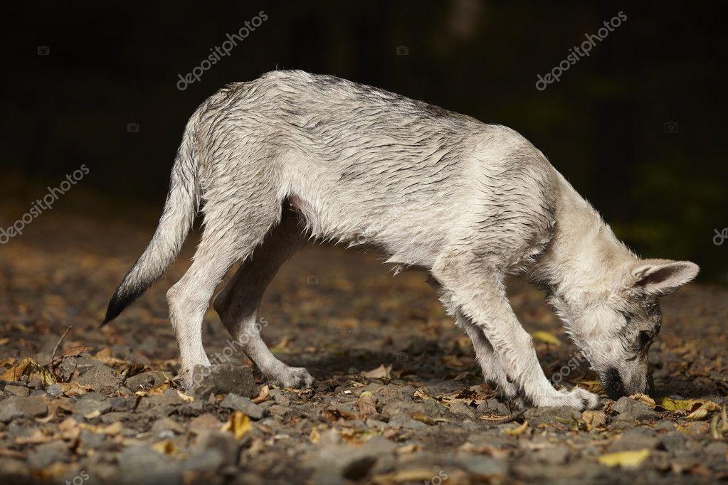 Piccolo Cucciolo Di Cane Lupo Nella Foresta Di Estate Foto Stock