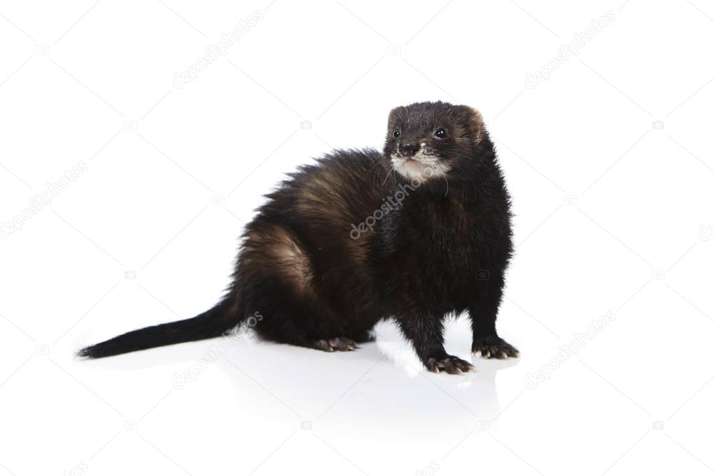 Pretty posing fluffy black ferret on white background