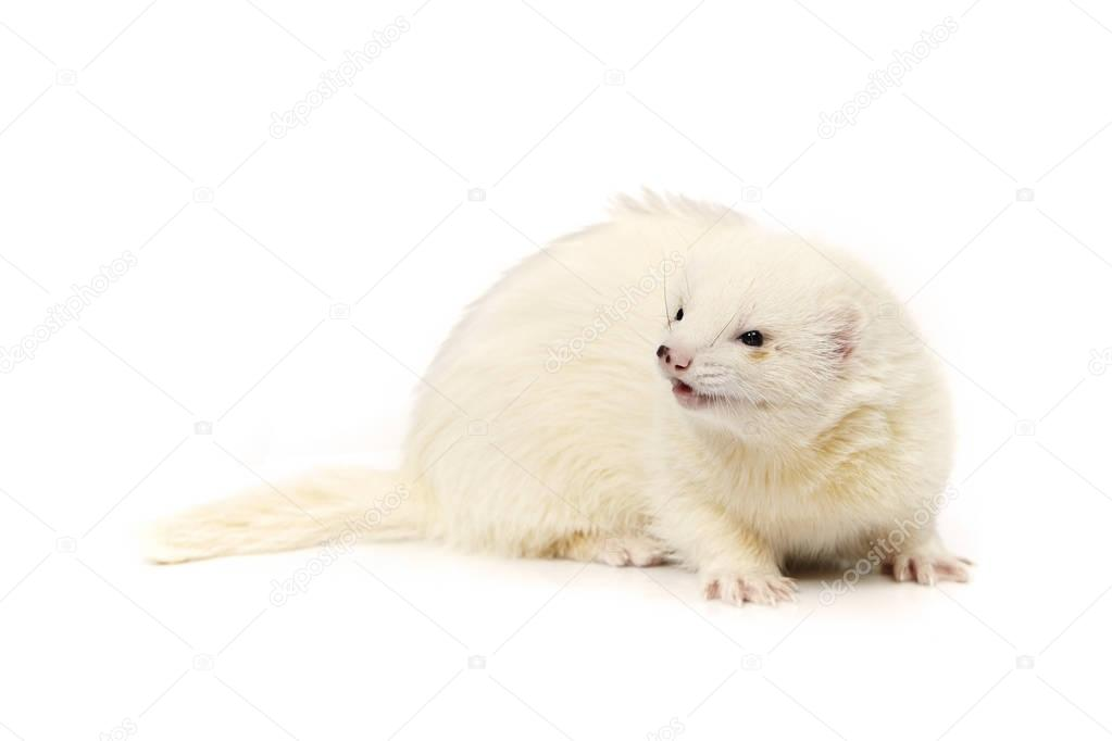 Pretty posing fluffy dark eyed white ferret on white background