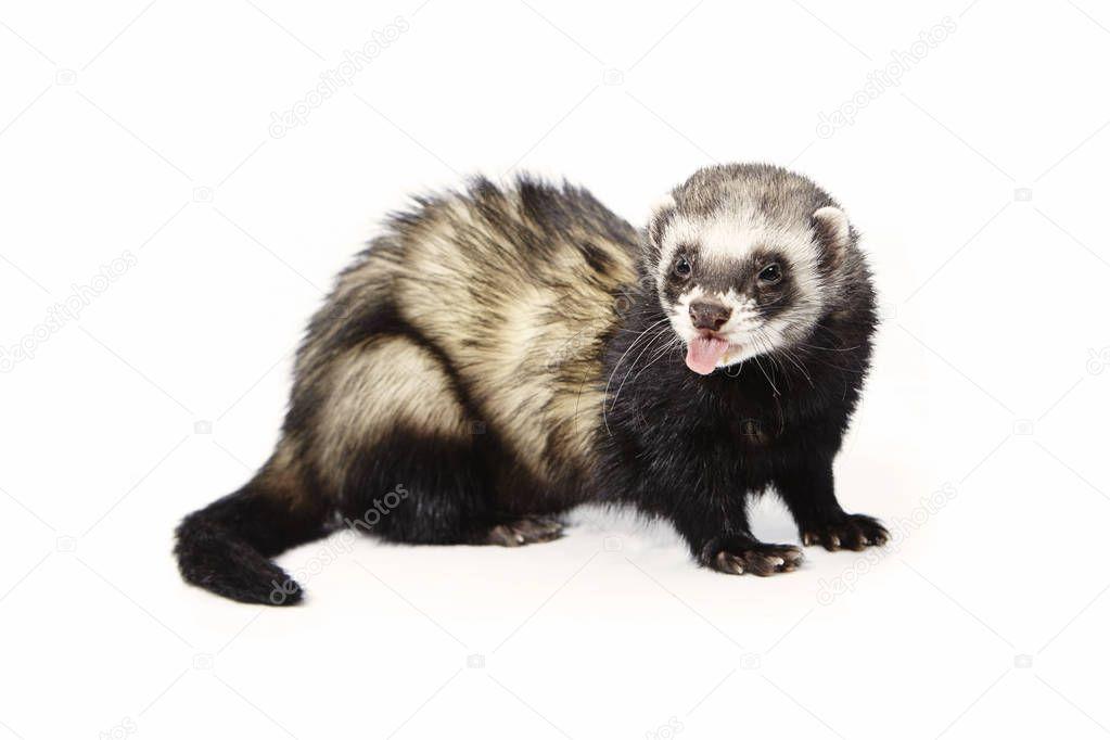 Pretty posing fluffy standard color ferret on white background