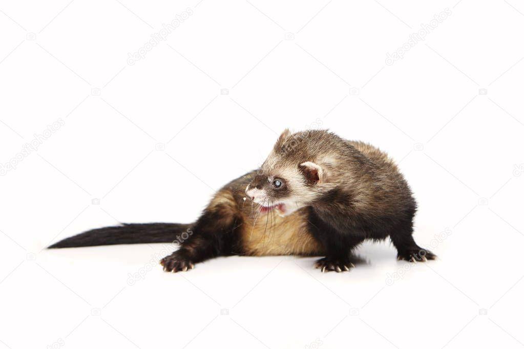 Pretty posing fluffy blind ferret on white background