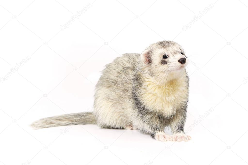 Nice posing fluffy silver ferret on white background