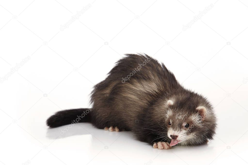 Angora ferret on white background posing for portrait in studio