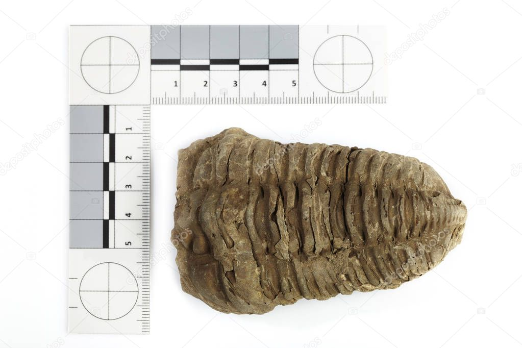 Trilobite fossil found probably in Morocco documented with scale and measure on white background