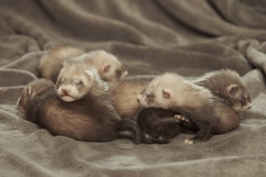 Young male and female 3 weeks old ferrets of various colors laying and posing on gray background