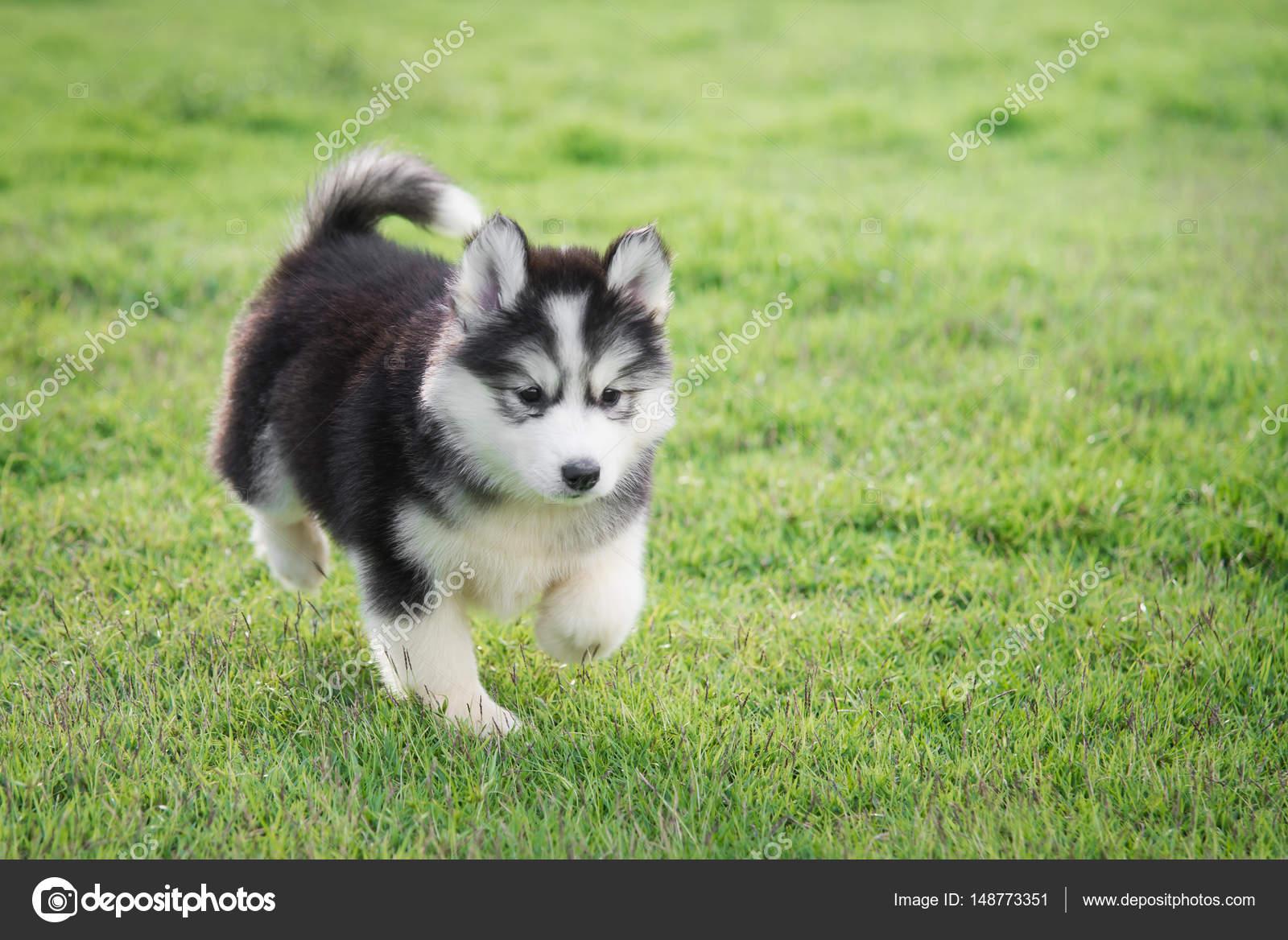Cute White siberian husky puppy on grass — Stock Photo ...