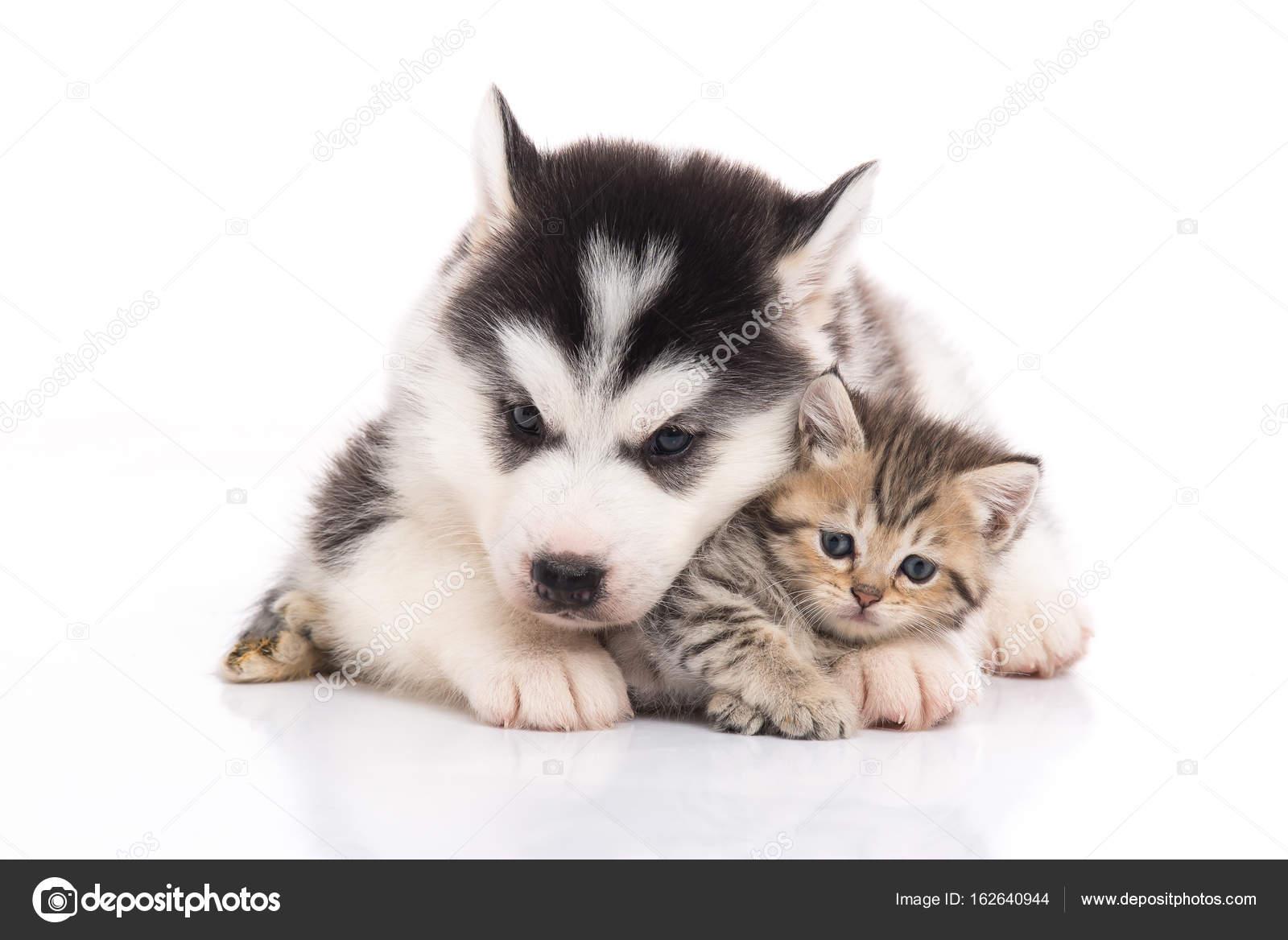 Cute Siberian Husky Puppy Cuddling Cute Kitten White Background