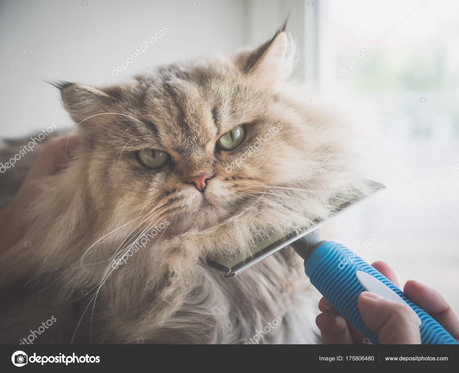 Mujer Asiatica Con Cepillo Peine Gato Persa Foto De Stock