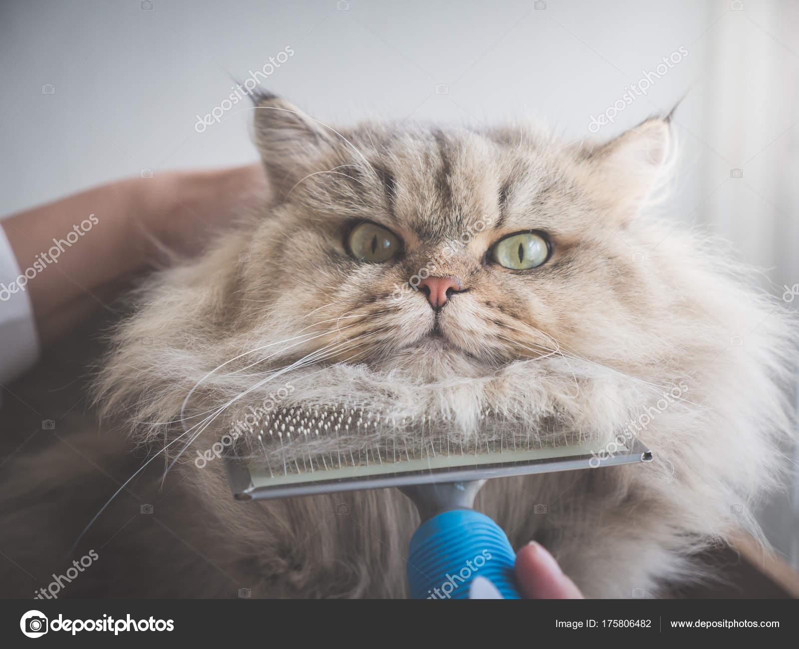 Gato Persa Asiatico Mujer Asiatica Con Cepillo Peine Gato Persa