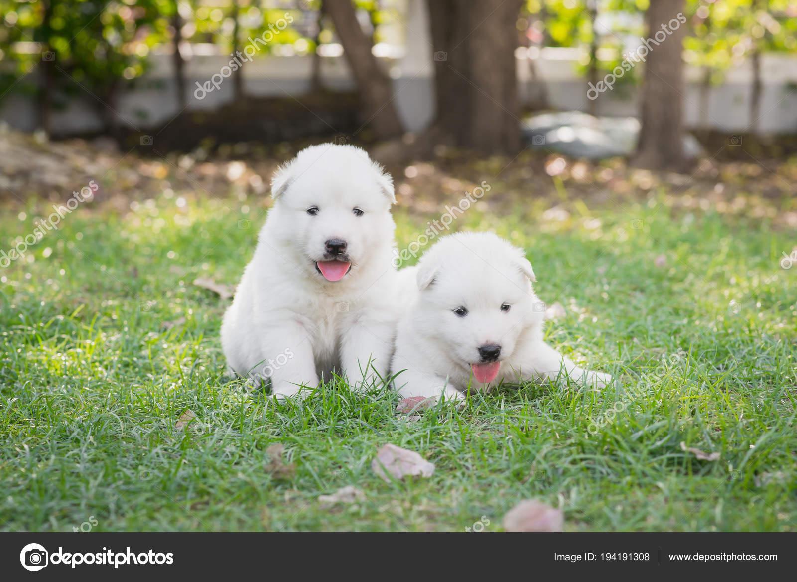 All White Baby Husky Two White Siberian Husky Puppies Sitting Grass Stock Photo C Lufimorgan 194191308