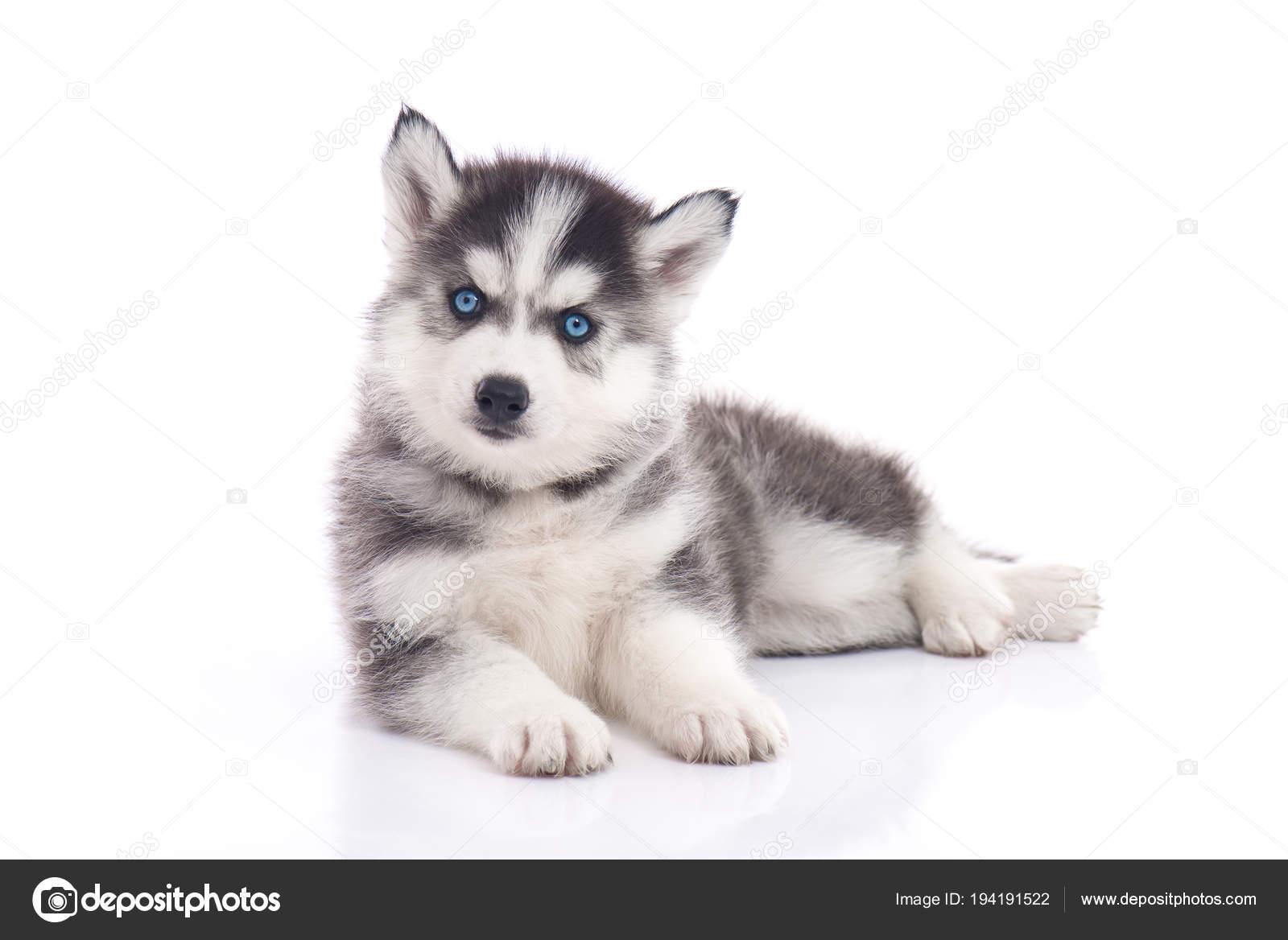Blue Eyes Siberian Husky Puppy Sitting White Background Isolated
