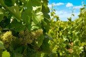 Řádky vinic s modrou oblohou v jarním období