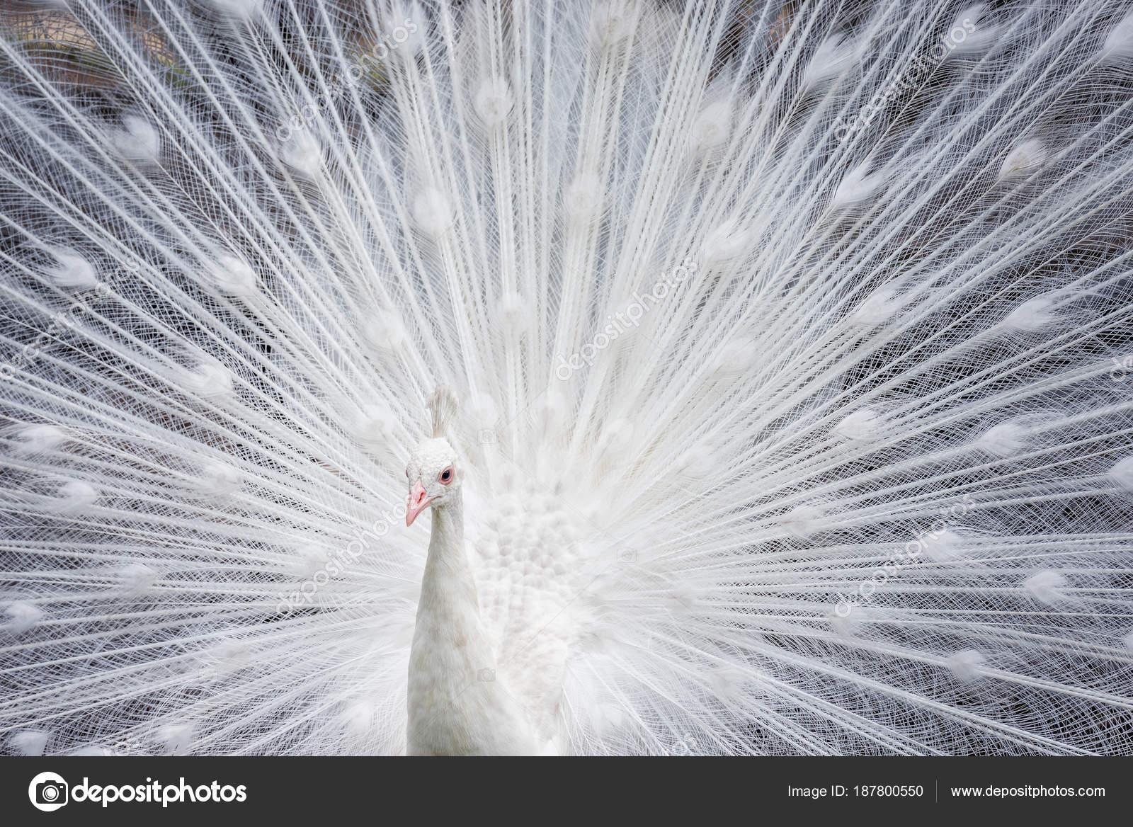Pavone bianco mostrando il suo coda aperta — Foto Stock © len4ik40 ...