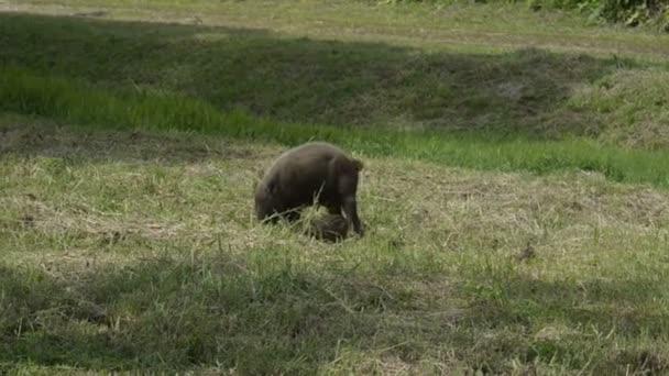 Bornejský vousatých prase (Sus barbatus) s jejich malé děti na divoké přírody