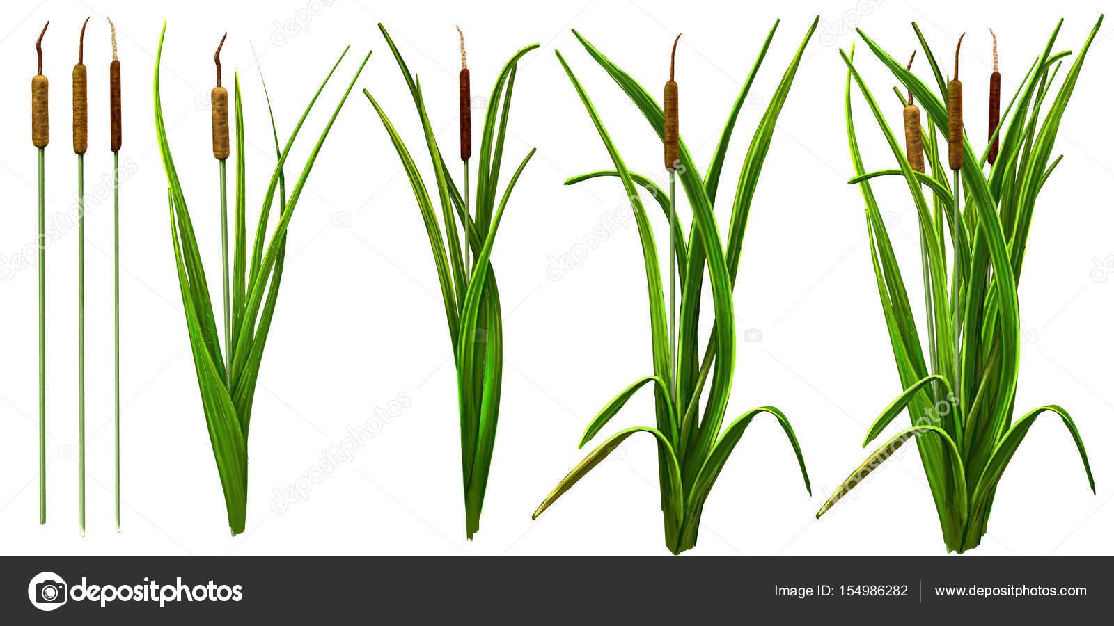 plante aquatique typha
