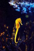 Closeup seahorse plavání v barevných korálových útesů
