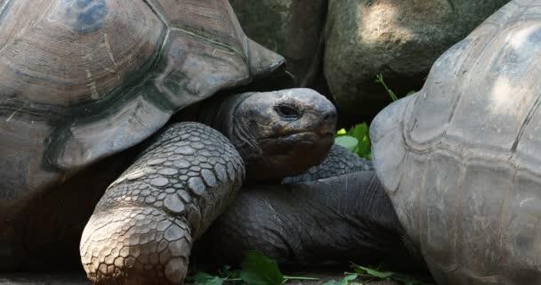 Az Aldabra óriás teknős (Aldabrachelys gigantea) Curieuse-szigeten (egy sikeres vadteknős-védelmi program helyszíne) Praslin-szigeten a Seychelle-szigeteken
