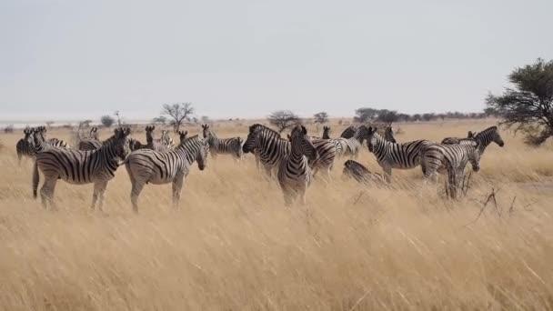 Hartmann s Mountain Zebra (Equus zebra hartmannae) Etosha Nationalparkban, Namíbia, Afrika