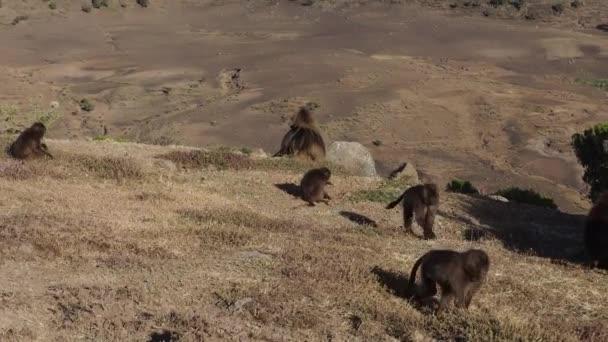 Gelada monkeys (Theropithecus gelada) in Simien mountains national park, Ethiopia, Africa