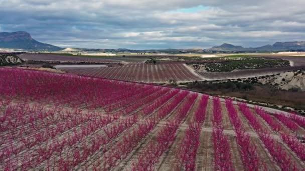 Barackvirág Ascoyban, Cieza közelében. Videográfia egy virágzó őszibarack fák Cieza Murcia régióban. Barack, szilva és nektarin fák. Spanyolország