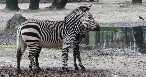 Hartmannova horská zebra Equus zebra hartmannae je poddruh horské zebry nacházející se v jihozápadní Angole a západní Namibii.