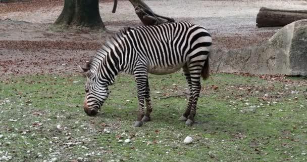 A Hartmann hegyi zebrája, az Equus zebra hartmannae a hegyi zebra alfaja, amely a messzi-délnyugati Angolában és Namíbia nyugati részén található..