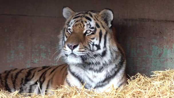 A szibériai tigris, a Panthera tigris altaica a legnagyobb macska a világon.