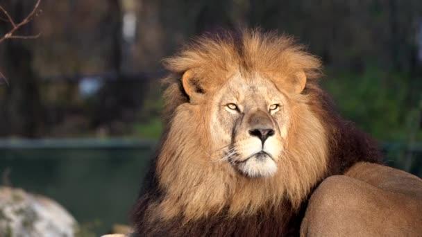 Az oroszlán, a Panthera leo a Panthera nemzetség négy nagymacskájának egyike és a Felidae család tagja..