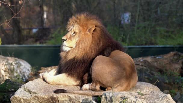 Lev, Panthera Leo je jednou ze čtyř velkých koček v rodu Panthera a členem rodiny Felidae.