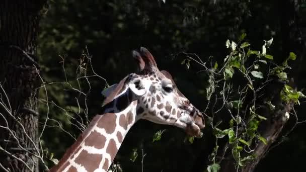 Žirafa, žirafa camelopardalis je africký sudokopytník, nejvyšší žijící suchozemské zvíře a největší přežvýkavec.