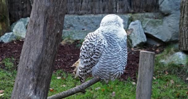 sněžná sova, Bubo skandiacus, pták z rodu Strigidae. se žlutým okem
