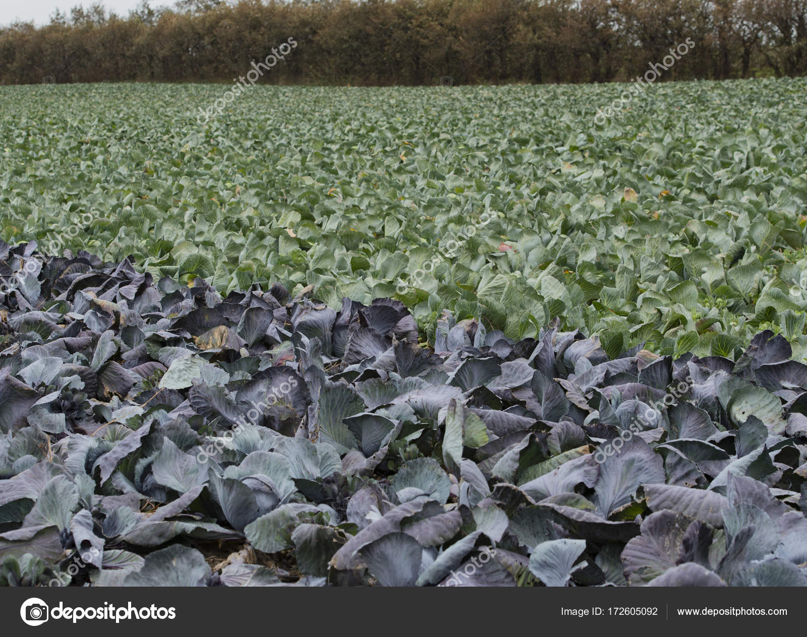 Red cabbage and cabbage on a cabbage field in Schleswig Holstein ... for Red Cabbage Farm  75sfw