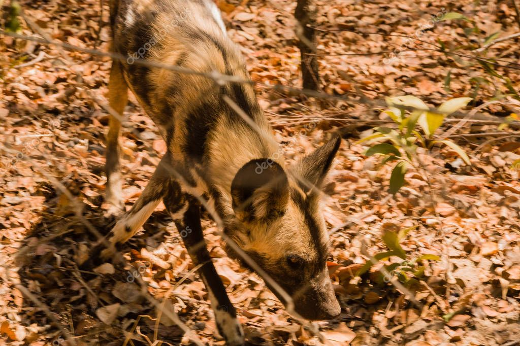 African wild dogs in the Savannah off in Zimbabwe, South Africa