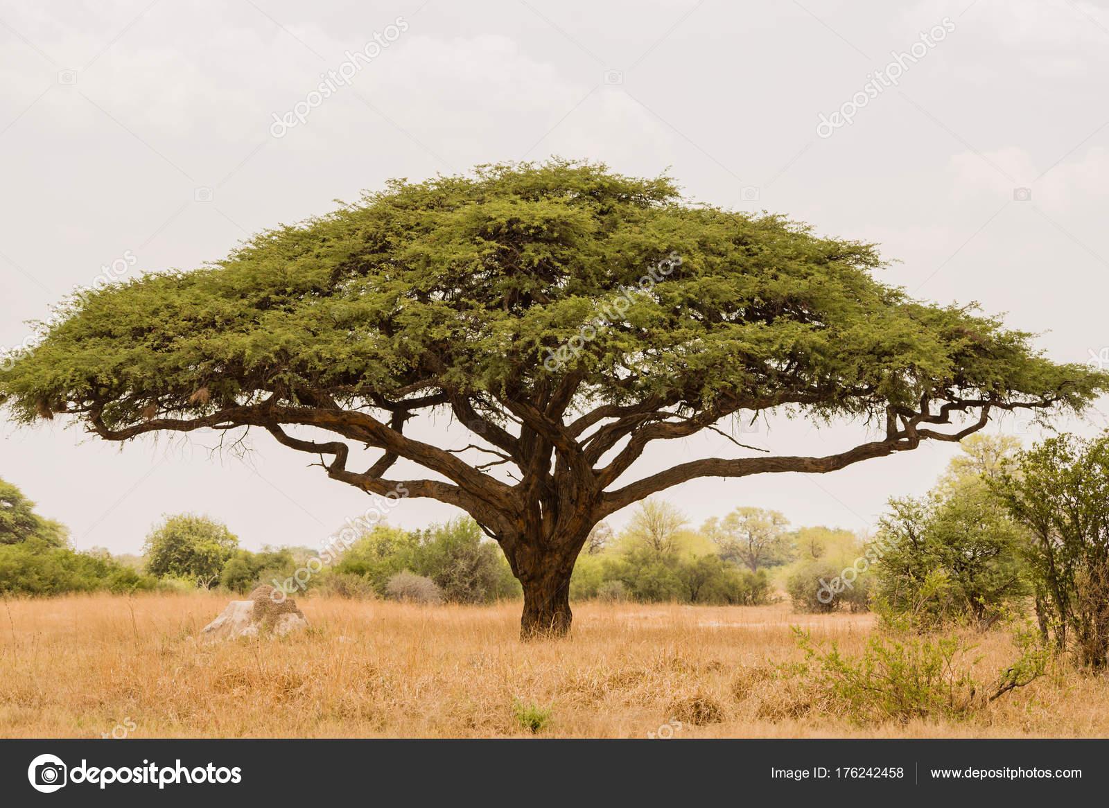 Fotos Arbol De Acacia árbol Acacia Sabana Zimbabwe áfrica Del Sur