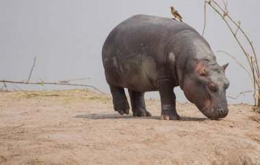 Hippo in Savannah off in Zimbabwe, South Africa