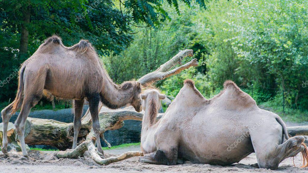 Asian camel in a enclosure
